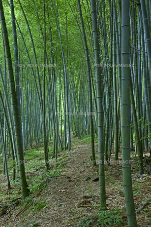 竹林 瀬戸の筍産地の写真素材 [FYI00472497]