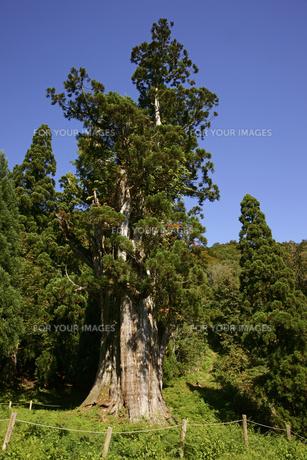 石徹白の大杉 樹齢1800年の写真素材 [FYI00472538]