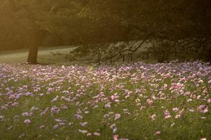 夕日に染まるコスモスの群生の写真素材 [FYI00472638]
