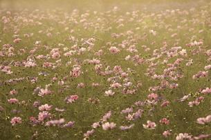 夕日に染まるコスモスの群生の写真素材 [FYI00472651]