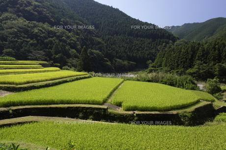 稲穂が実り始めた水田風景の写真素材 [FYI00472659]