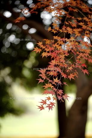 紅葉のクローズアップの写真素材 [FYI00472675]