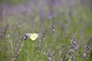 ラベンダーと蝶の写真素材 [FYI00472827]