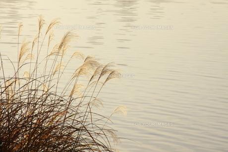 秋の七草ススキの写真素材 [FYI00472882]