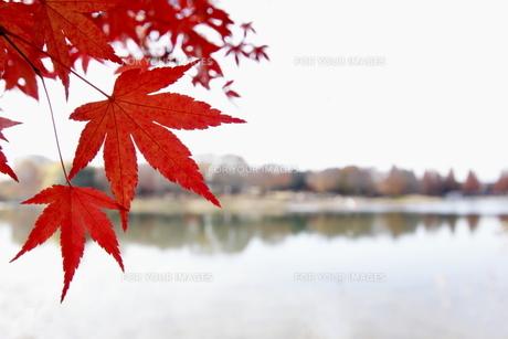 紅葉の写真素材 [FYI00472902]