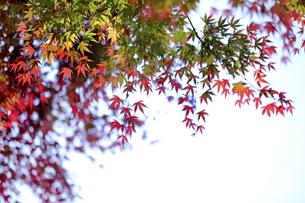 紅葉の写真素材 [FYI00472911]