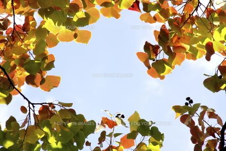 紅葉したナンキンハゼの写真素材 [FYI00472919]