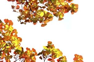 紅葉したナンキンハゼの写真素材 [FYI00472926]