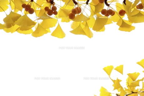 黄葉したイチョウと銀杏の写真素材 [FYI00472928]