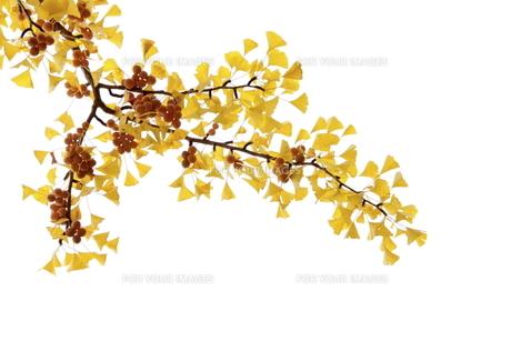 黄葉したイチョウと銀杏の写真素材 [FYI00472933]