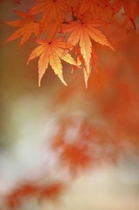 紅葉の写真素材 [FYI00472962]