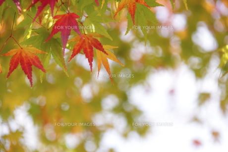 紅葉の写真素材 [FYI00472976]