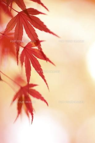 紅葉の写真素材 [FYI00472979]
