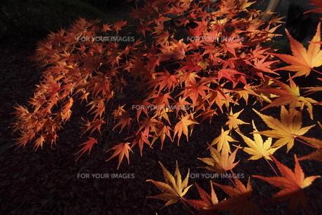 紅葉の写真素材 [FYI00473230]