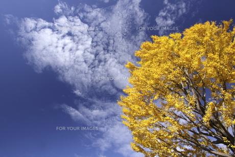 青空と黄葉した木の写真素材 [FYI00473234]