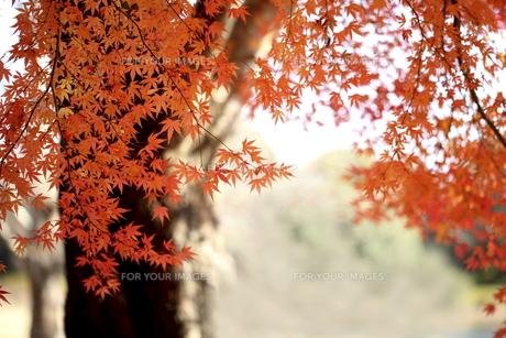 紅葉の写真素材 [FYI00473243]