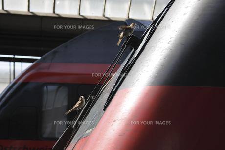 機関車のフロントウインドウに付着した虫を食べるスズメの写真素材 [FYI00473678]