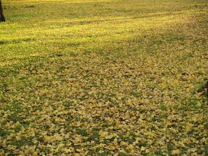 イチョウの絨毯の写真素材 [FYI00473752]