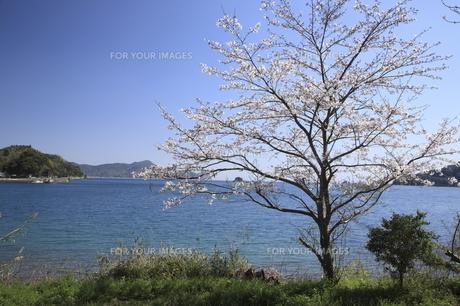 海と桜の写真素材 [FYI00473845]