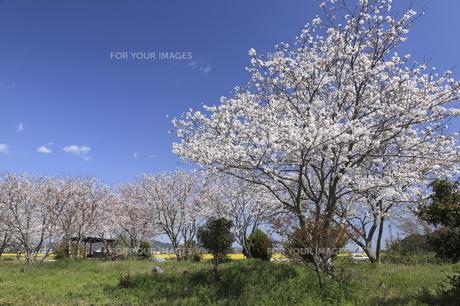 桜の写真素材 [FYI00473849]