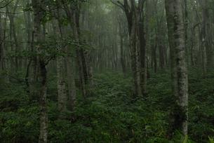 霧に包まれるブナ林の写真素材 [FYI00473920]