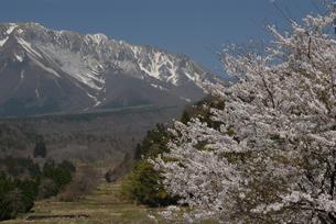 桜と大山の南壁の写真素材 [FYI00473960]