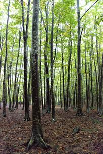 松之山の美人林の写真素材 [FYI00474222]