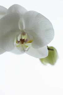 胡蝶蘭の写真素材 [FYI00474247]