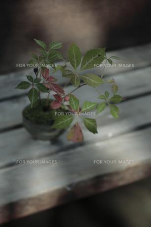 縁台に置いたミニ盆栽の写真素材 [FYI00474266]