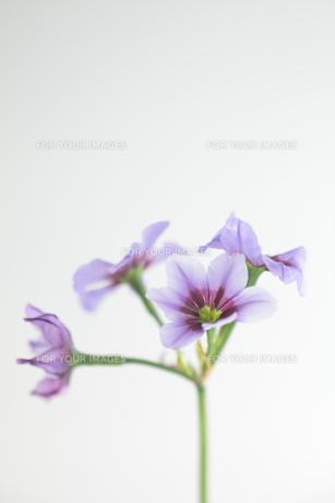 紫の花の写真素材 [FYI00474276]
