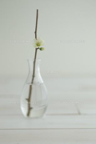 一輪挿しのボケの花の写真素材 [FYI00474283]
