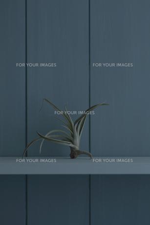 青い壁と棚とエアープランツの写真素材 [FYI00474310]