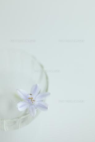 ガラス器とムラサキクンシランの写真素材 [FYI00474332]