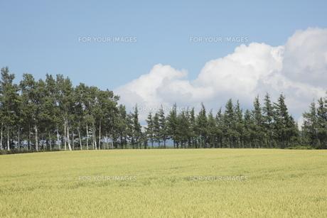 小麦畑の写真素材 [FYI00474369]