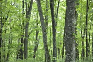 新緑の林の写真素材 [FYI00474373]