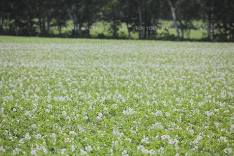 ジャガイモ畑の素材 [FYI00474375]