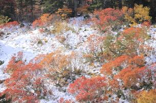 紅葉と雪の写真素材 [FYI00474399]