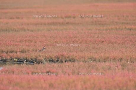 サンゴ草とオオジシギの写真素材 [FYI00474406]