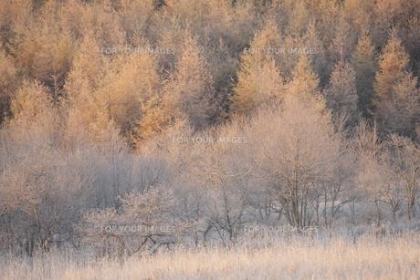 朝日に照らされる霧氷が着いた木々の写真素材 [FYI00474434]