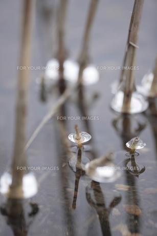 キタヨシと氷の写真素材 [FYI00474439]