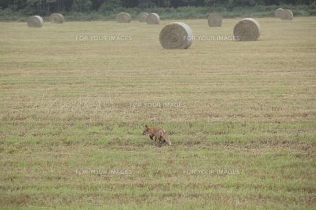 牧草ロールとキタキツネの写真素材 [FYI00474493]