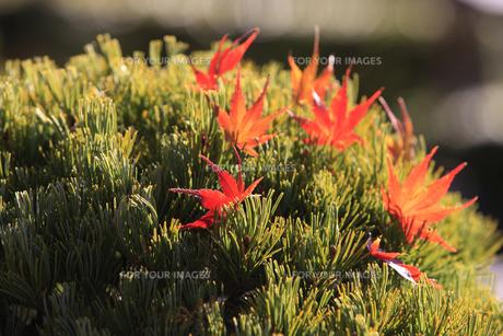 松の盆栽とモミジの写真素材 [FYI00474520]