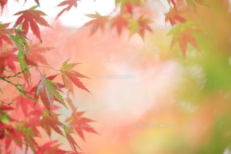 紅葉の写真素材 [FYI00474543]