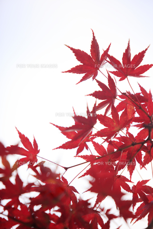 紅葉の写真素材 [FYI00474551]