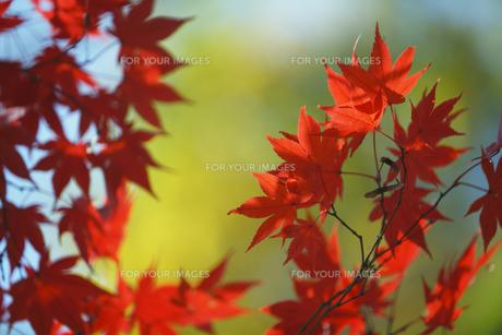 紅葉の写真素材 [FYI00474553]