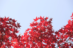 紅葉の写真素材 [FYI00474559]