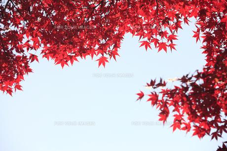 紅葉の写真素材 [FYI00474560]