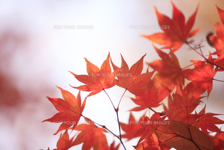 紅葉の写真素材 [FYI00474565]