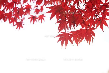 紅葉の写真素材 [FYI00474566]