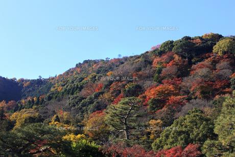 嵐山の紅葉の写真素材 [FYI00474572]